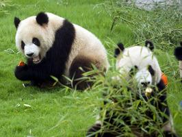 panda-mata-accidentalmente-a-su-osesno-recien-nacido-en-el-zoo-de-pekín