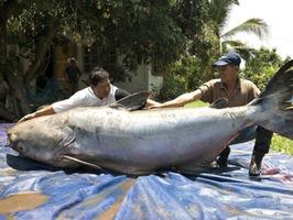 el pez gato del rio mekong en peligro de extincion