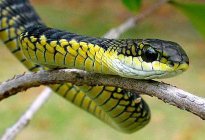 Boomslang serpiente venenosa