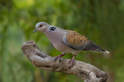 Las aves europeas están amenazadas